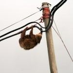 Sloth on electricity line